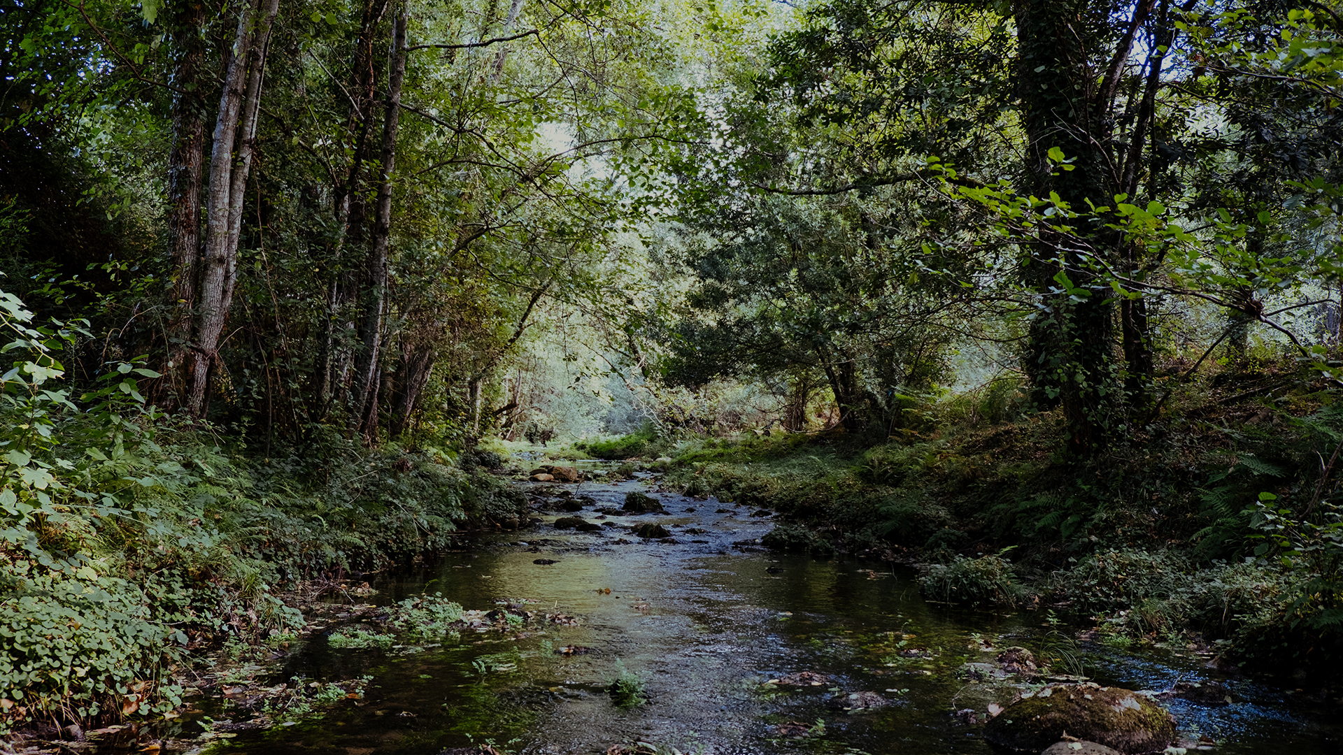 image looking downstream in a stream with large trees on either side