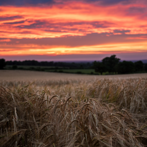 photo of a wheat field at sunset