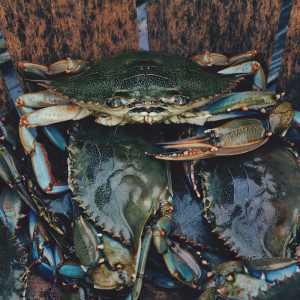 Close up photo looking into a bushel basket of blue crabs