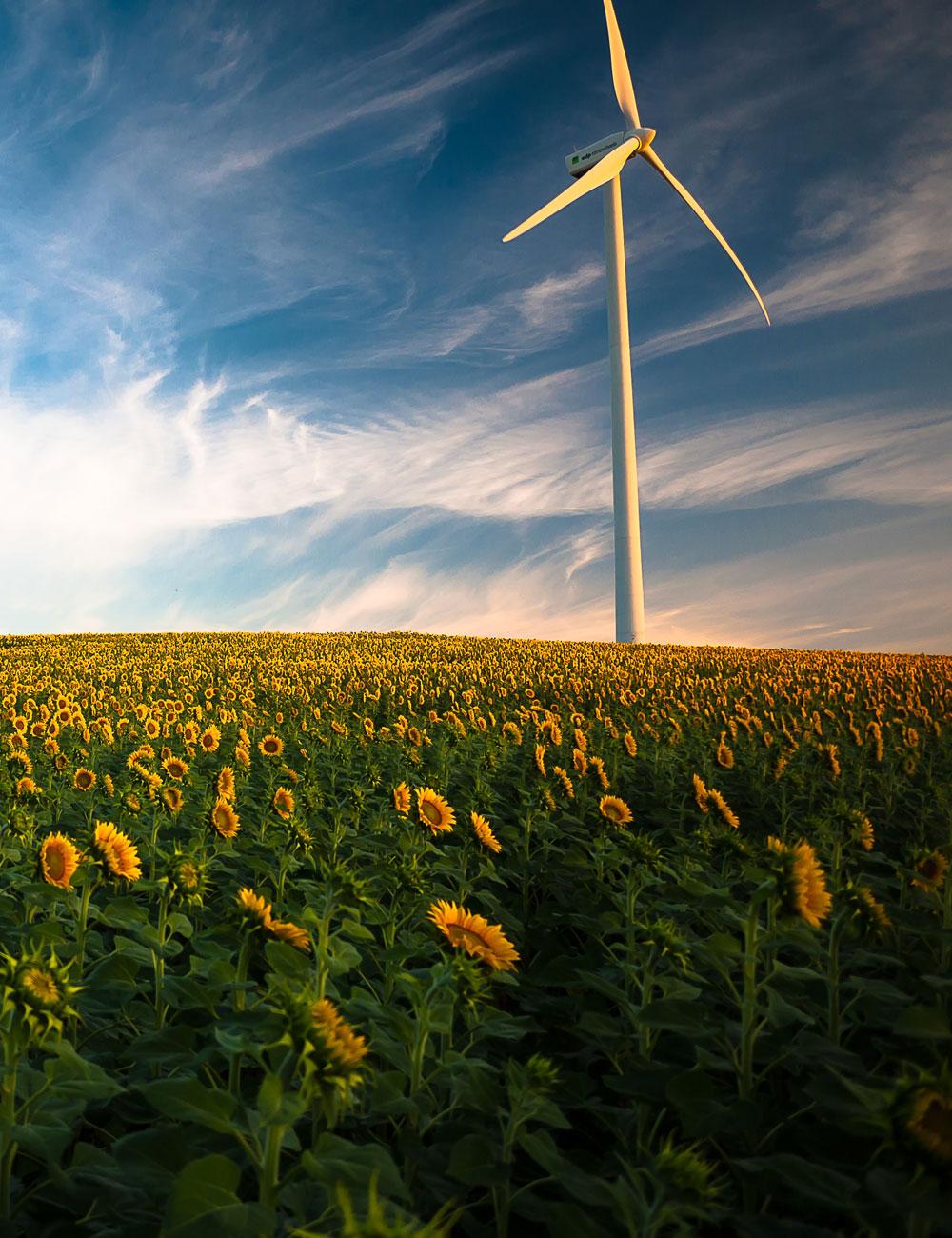 Wind turbine in a sunflower field